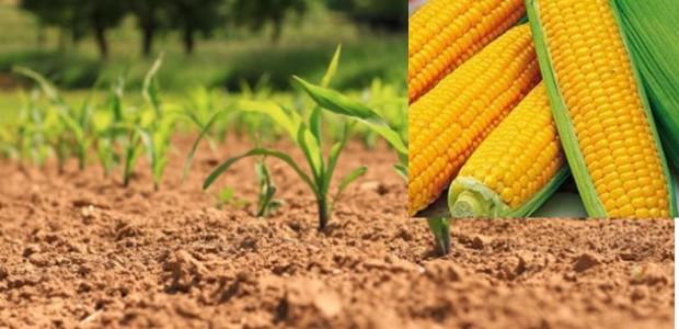 >>>Avis aux producteurs de maïs consommation relatif à la campagne 2020 >>>Demande d'autorisation pour la production de maïs consommation 2020 Partagez