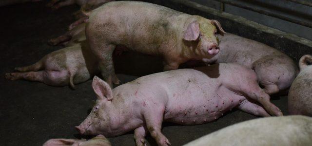Depuis le 14 septembre dernier, les autorités belges ont déclaré plusieurs cas de Peste Porcine Africaine (PPA) dans la faune sauvage chez des sangliers. Cette Peste Porcine Africaine est sans danger pour la santé de l'homme. C'est une maladie hémorragique hautement contagieuse qui touche les suidés (porcs, phacochères, sangliers). Toutes les classe d'âge sont également sensibles [...]