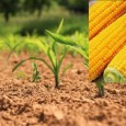 >>>Avis aux producteurs de maïs consommation relatif à la campagne 2020 >>>Demande d'autorisation pour la production de maïs consommation 2020